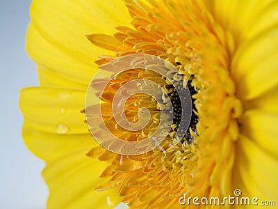 Yellow Flower Gerber Close-up