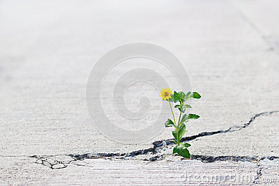 Yellow flower growing on crack street, soft focus