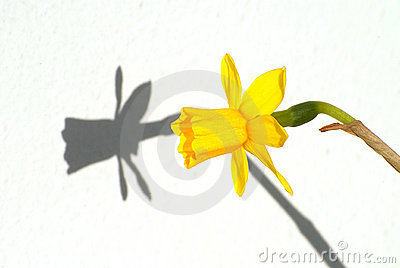 Yellow Flower and its shadow