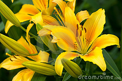 Yellow flower of lily