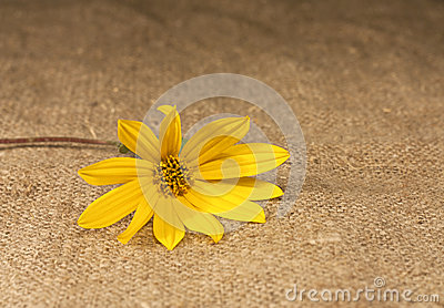 Yellow flower lying on the tablecloth