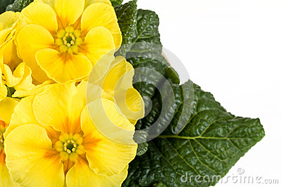 Yellow flower primrose