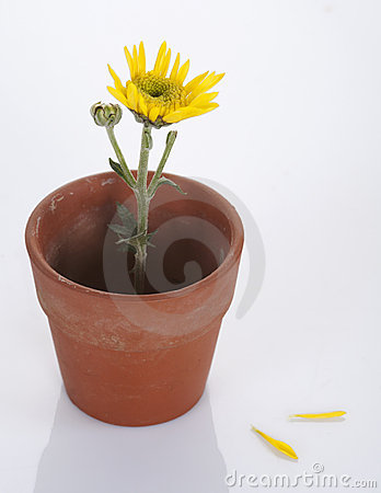 Yellow flower in a small pot