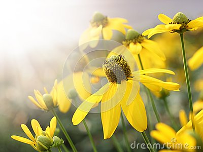 Yellow flower and sun light