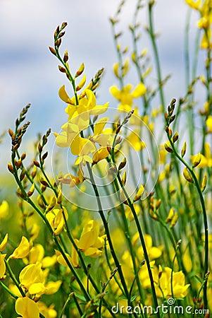 Yellow flower of wild genista.