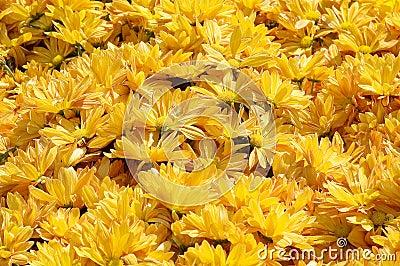 Yellow Flowerbed