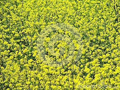 Yellow flowers 5