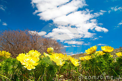 Yellow flowers (Adonis vernalis)