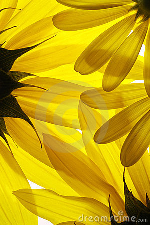 Free Yellow Flowers Background Stock Photo - 4519780