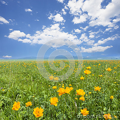 Yellow flowers field with white blue sky