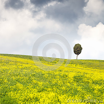 Yellow flowers green field, lonely cypress tree and cloudy sky