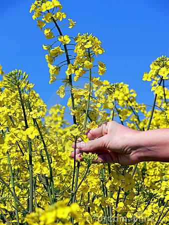 Free Yellow Flowers Of The Rape Royalty Free Stock Photography - 5194177