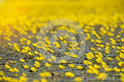 Yellow flowers on swamp