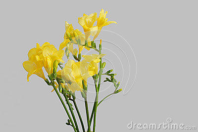 Yellow freesias