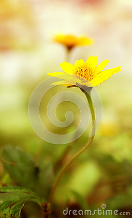 Free Yellow Fresh Daisy Field, Blooming Spring Flowers Over Warm Suns Stock Images - 64989334