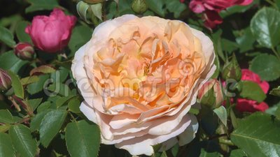 Yellow garden roses bloom in the botanical garden. Garden yellow roses bloom in bright sunny and windy summer day video footage floral colorful background close stock footage