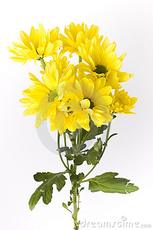Free Yellow Geranium Flowers With Stems Royalty Free Stock Images - 17724019