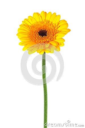 Free Yellow Gerber Stock Photos - 16872943