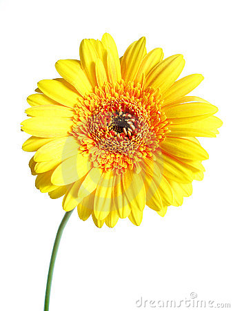 Free Yellow Gerber Royalty Free Stock Photo - 2474995