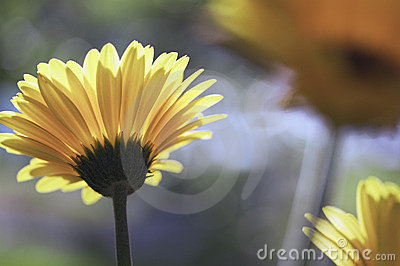 Yellow Gerber daisies in the sun