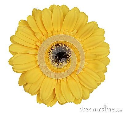 Free Yellow Gerber Daisy Stock Photography - 1142312