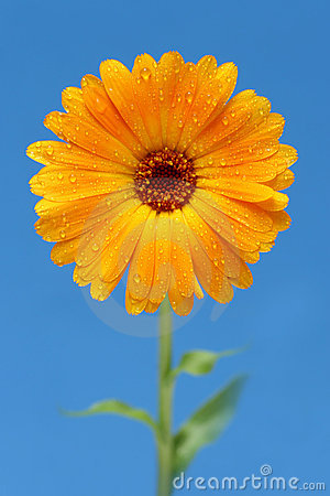 Free Yellow Gerber Daisy Stock Images - 228714