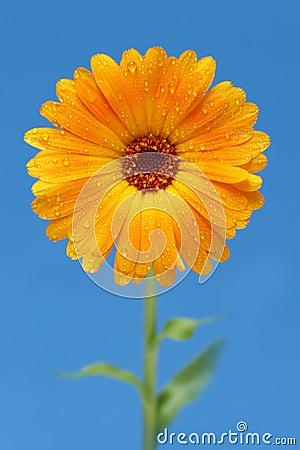 Yellow gerber daisy