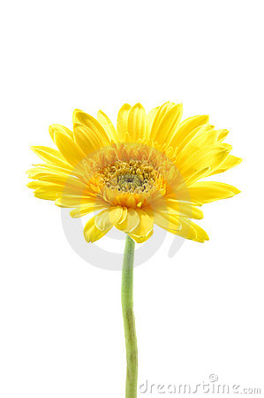 Free Yellow Gerber Daisy Royalty Free Stock Photography - 891947