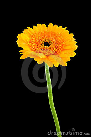 Free Yellow Gerber Flower Stock Images - 11386654