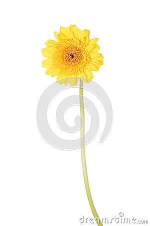 Free Yellow Gerber Flower Stock Photo - 27480720