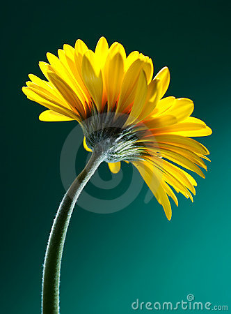Free Yellow Gerber Flower Royalty Free Stock Photography - 3680487