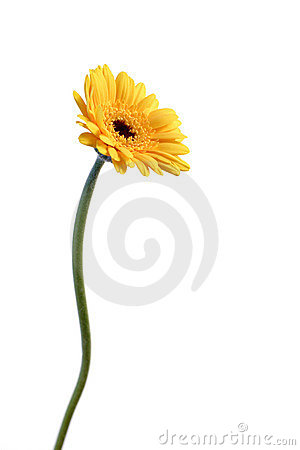 Free Yellow Gerbera Royalty Free Stock Photography - 567147