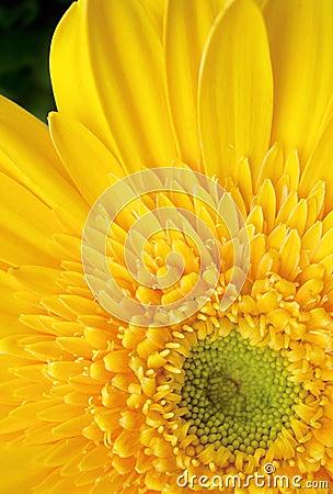 Free Yellow Gerbera Daisy Stock Photography - 575912