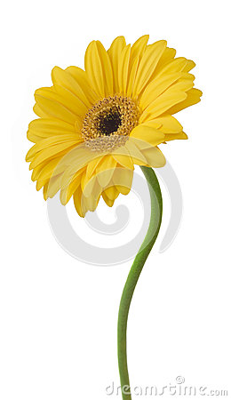 Free Yellow Gerbera Flower Isolated On White Background Stock Photos - 54772373