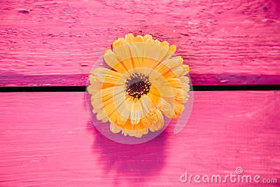 Yellow gerbera flower, symbol of delicacy