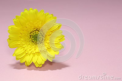 A yellow gerbera