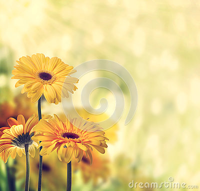 Free Yellow Gerberas Royalty Free Stock Photography - 40233597
