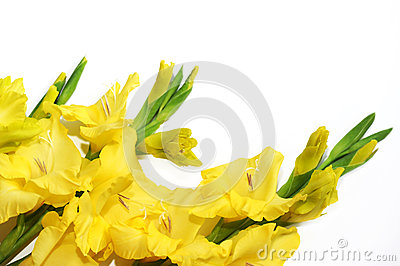 Yellow gladiolus on the left at the bottom on a white background.