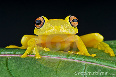 Yellow glass frog
