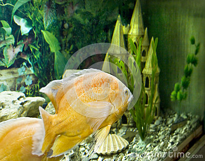 Yellow (golden) cichlasoma