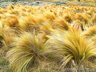 Yellow grass