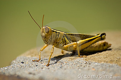 Yellow grasshopper sitting in the sun