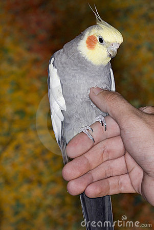 Yellow/Gray Cockatiel