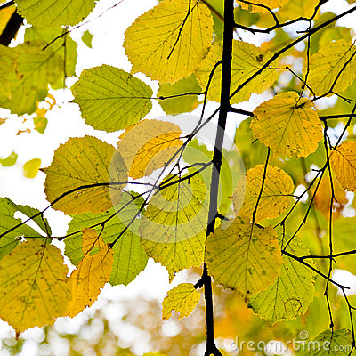 Yellow green autumn leaves close up