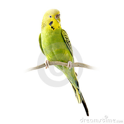 happy budgies sounds free download