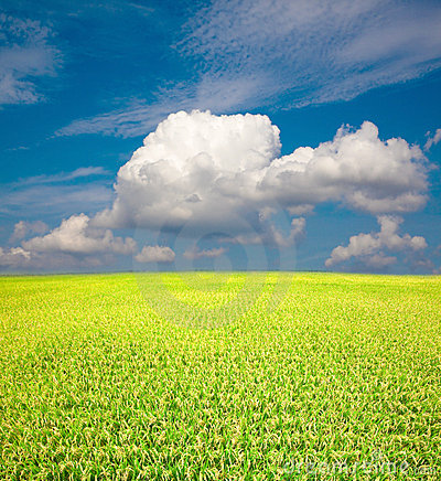 Yellow green field and blue sky