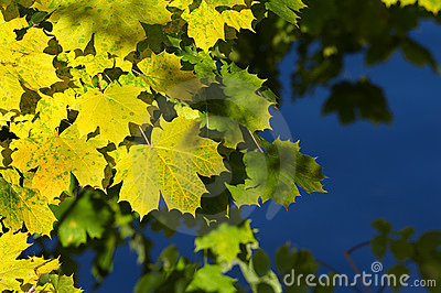 Yellow and green maple leafs
