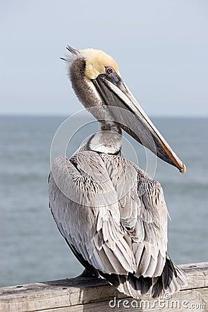 Free Yellow Head Pelican Royalty Free Stock Image - 14083576