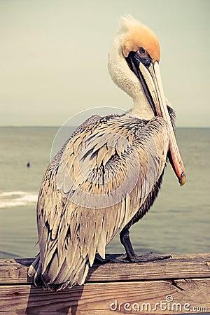 Free Yellow Head Pelican Stock Photography - 42456722