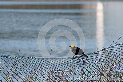 Yellow-headed Blackbird Xanthocephalus xanthocepha